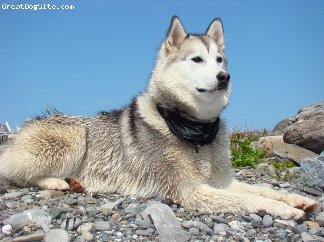 Labrador Husky, 18 months, wolf grey, Nikki is a beautiful pure bred Labrador Husky. Both her parents are sled dogs in Goose Bay, Labrador. She is an amazing part of our family - full of energy and certainly great with the kids.